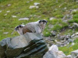 2016HighLineMarmots