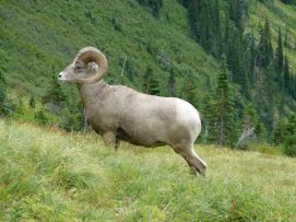2016HighlineTrailBighornSheep2